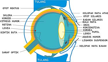 struktur sel buta warna