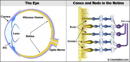 struktur mata